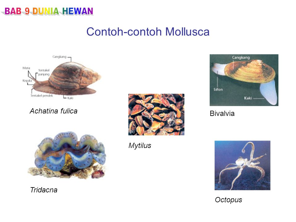 Contoh-contoh Mollusca