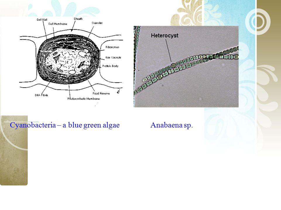 Cyanobacteria – a blue green algae Anabaena sp.