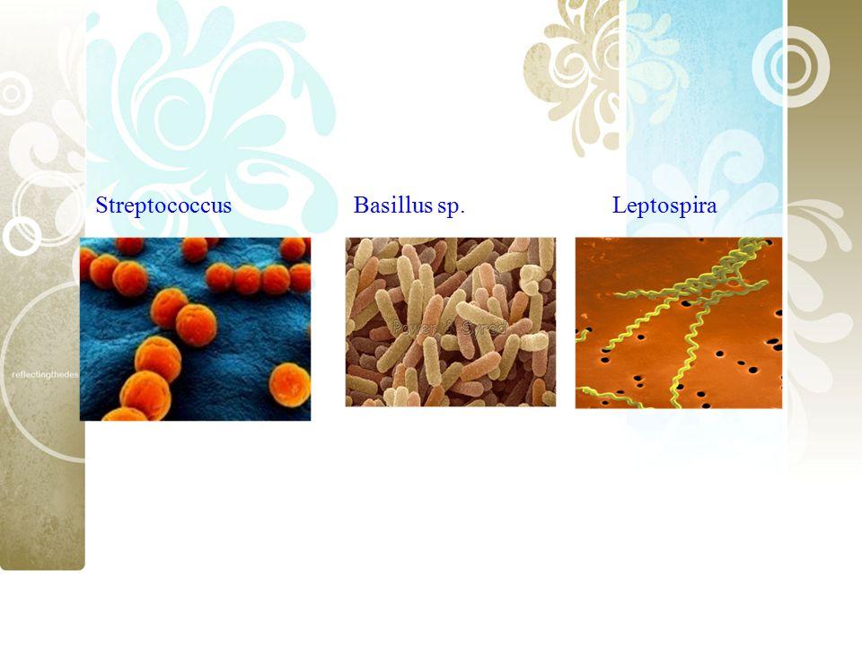 Streptococcus Basillus sp. Leptospira