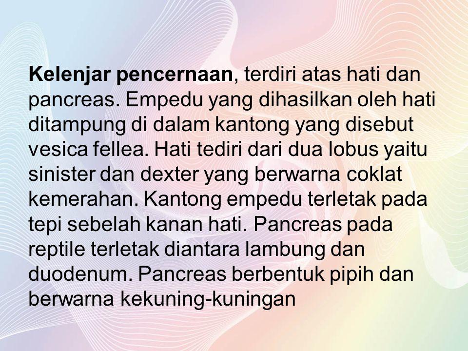 Kelenjar pencernaan, terdiri atas hati dan pancreas