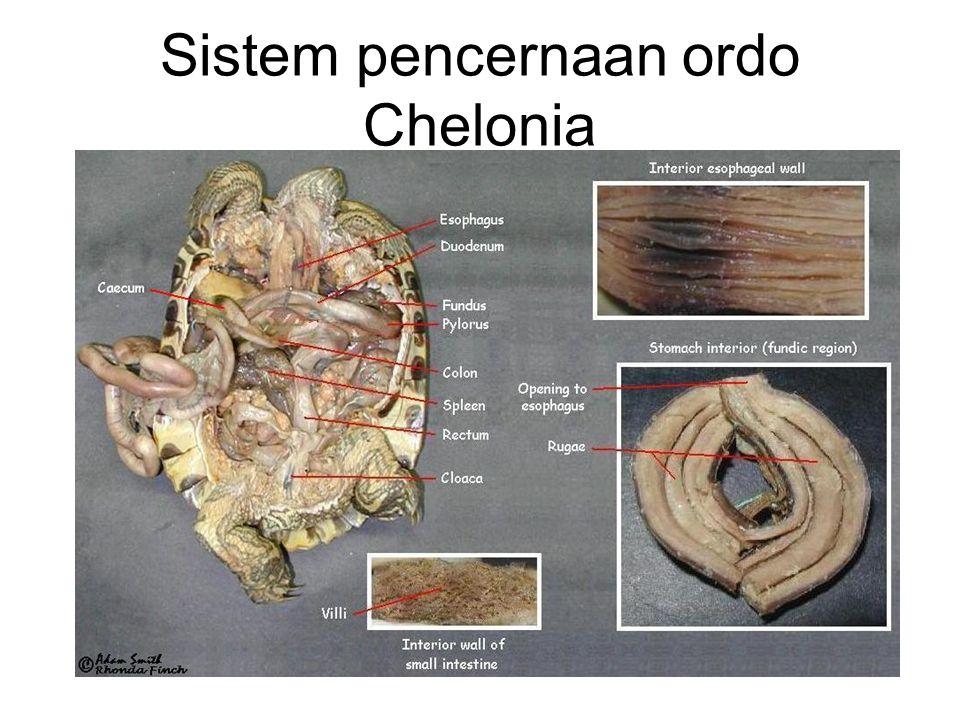 Sistem pencernaan ordo Chelonia