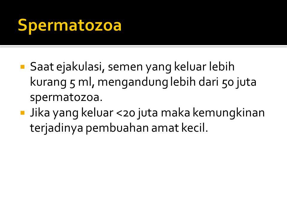 Spermatozoa Saat ejakulasi, semen yang keluar lebih kurang 5 ml, mengandung lebih dari 50 juta spermatozoa.