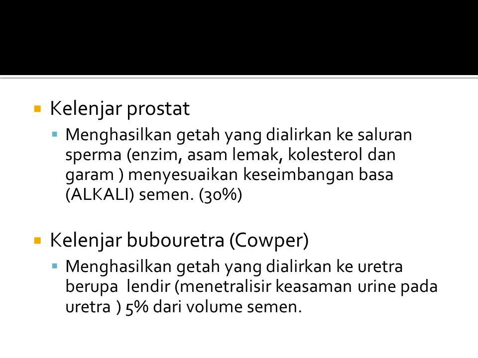 Kelenjar bubouretra (Cowper)