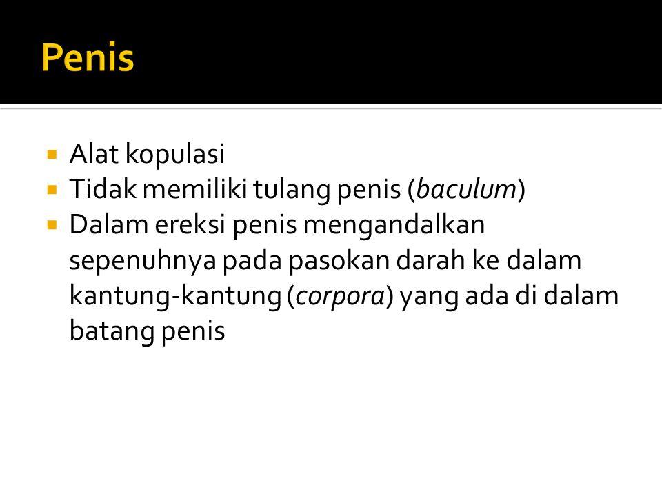 Penis Alat kopulasi Tidak memiliki tulang penis (baculum)