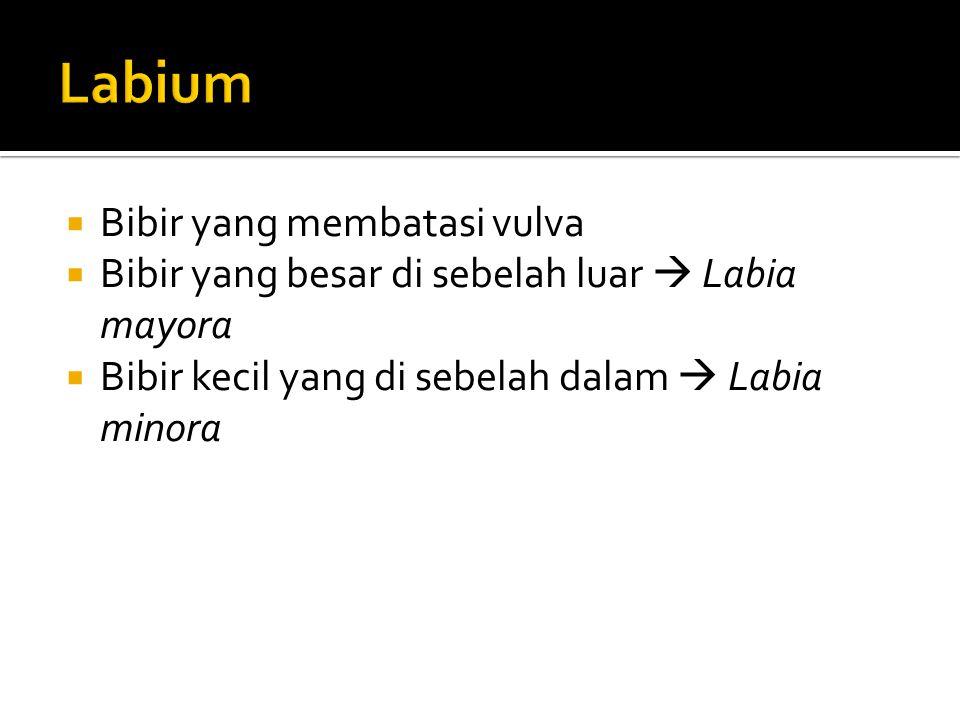 Labium Bibir yang membatasi vulva
