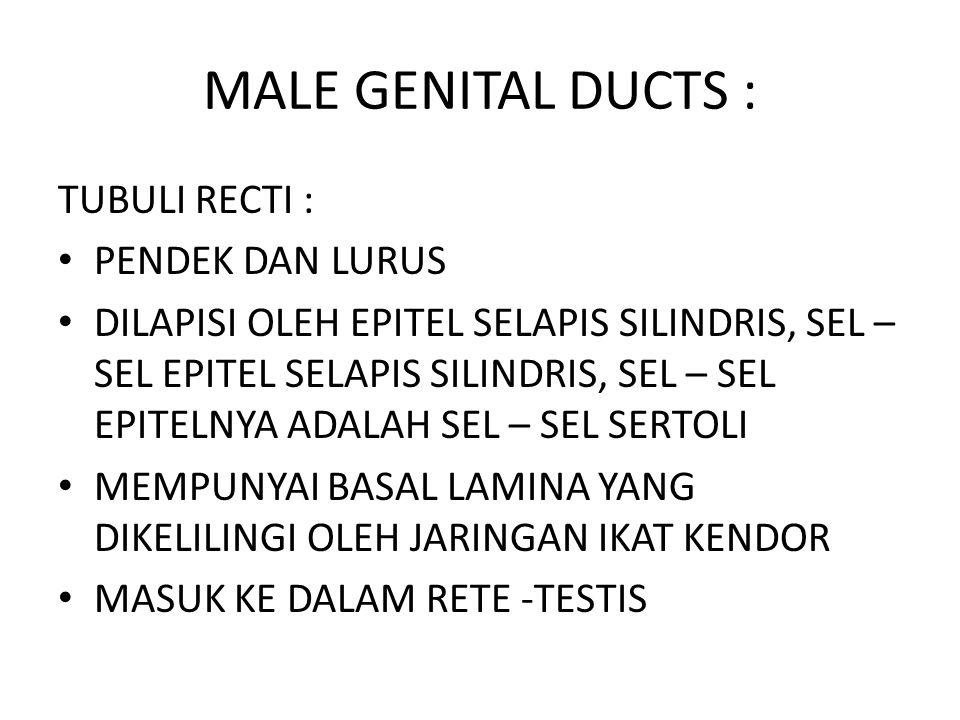 MALE GENITAL DUCTS : TUBULI RECTI : PENDEK DAN LURUS
