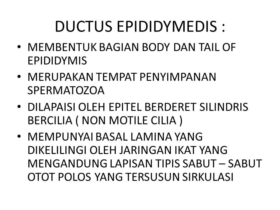 DUCTUS EPIDIDYMEDIS : MEMBENTUK BAGIAN BODY DAN TAIL OF EPIDIDYMIS