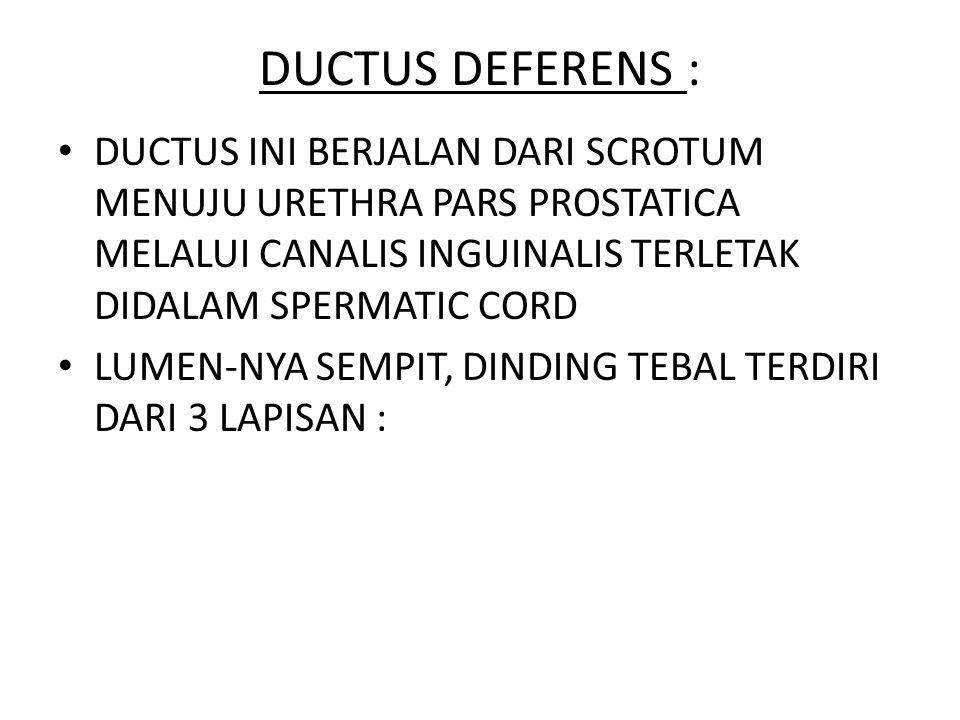 DUCTUS DEFERENS : DUCTUS INI BERJALAN DARI SCROTUM MENUJU URETHRA PARS PROSTATICA MELALUI CANALIS INGUINALIS TERLETAK DIDALAM SPERMATIC CORD.