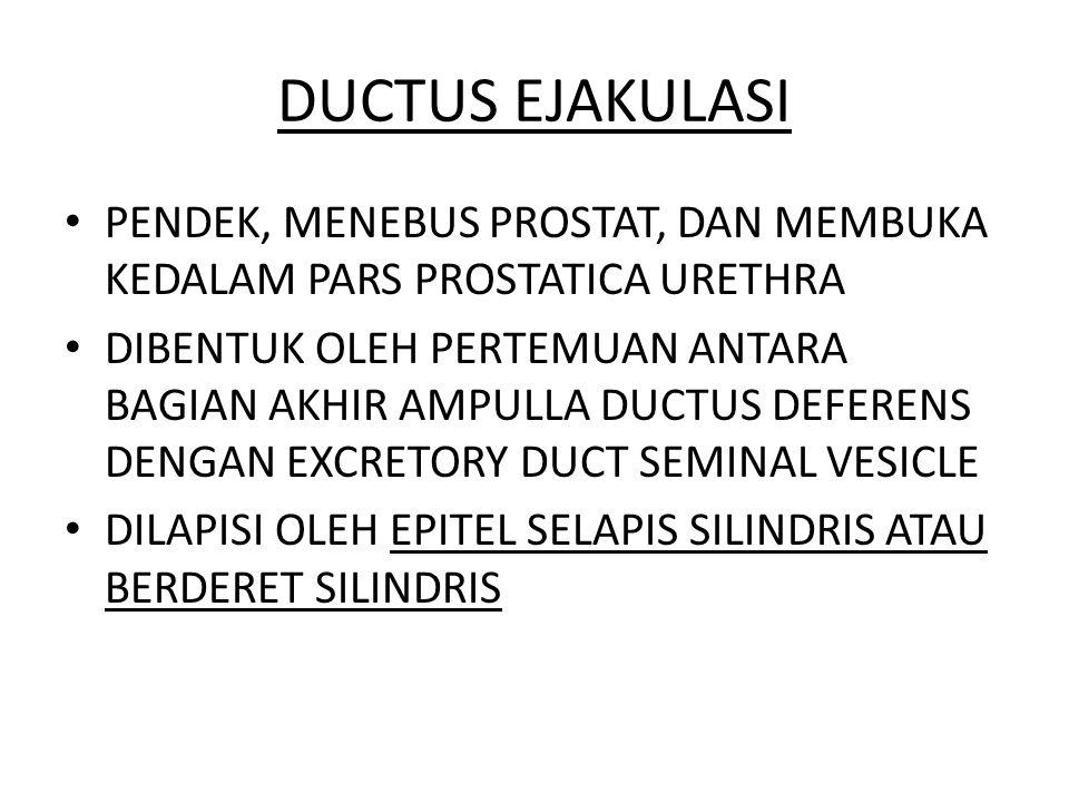 DUCTUS EJAKULASI PENDEK, MENEBUS PROSTAT, DAN MEMBUKA KEDALAM PARS PROSTATICA URETHRA.