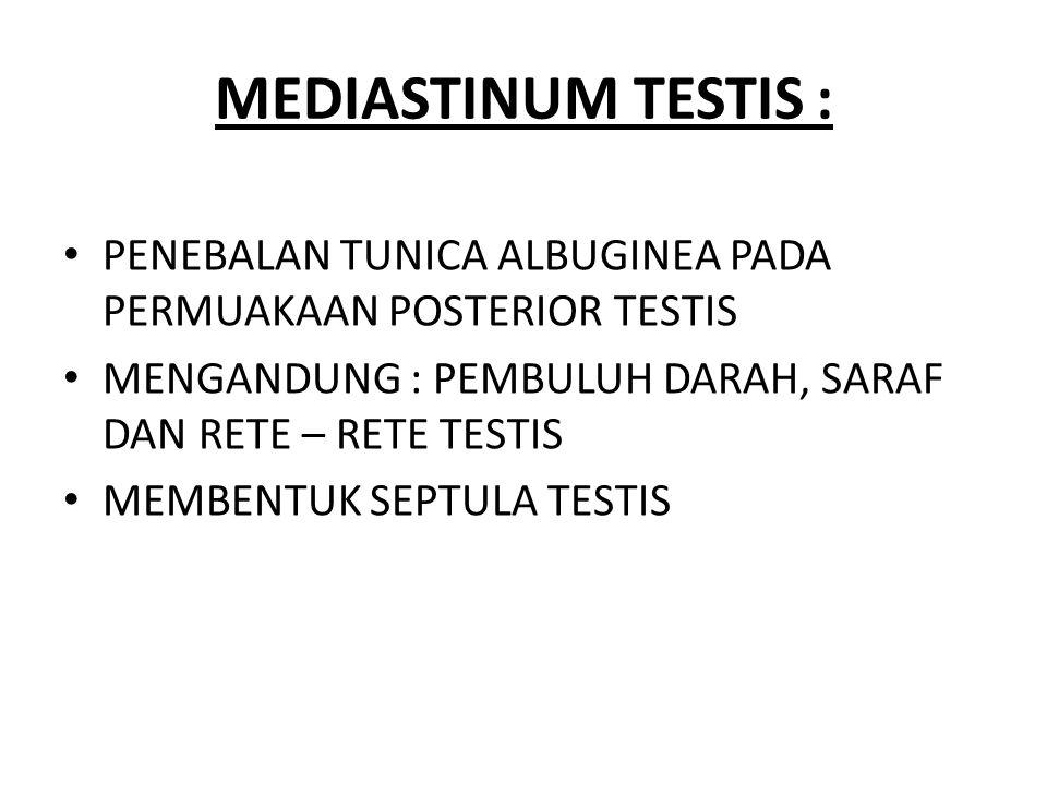 MEDIASTINUM TESTIS : PENEBALAN TUNICA ALBUGINEA PADA PERMUAKAAN POSTERIOR TESTIS. MENGANDUNG : PEMBULUH DARAH, SARAF DAN RETE – RETE TESTIS.