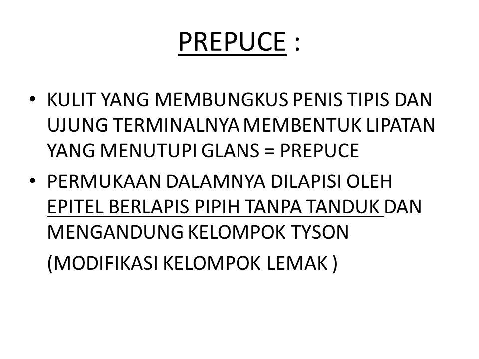 PREPUCE : KULIT YANG MEMBUNGKUS PENIS TIPIS DAN UJUNG TERMINALNYA MEMBENTUK LIPATAN YANG MENUTUPI GLANS = PREPUCE.