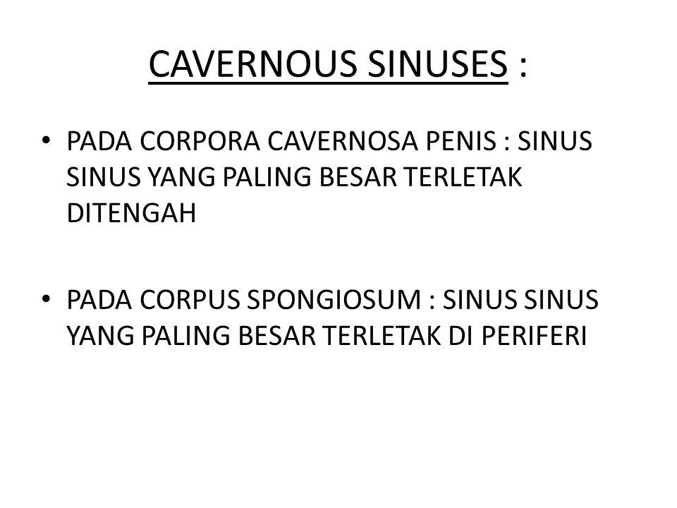 CAVERNOUS SINUSES : PADA CORPORA CAVERNOSA PENIS : SINUS SINUS YANG PALING BESAR TERLETAK DITENGAH.