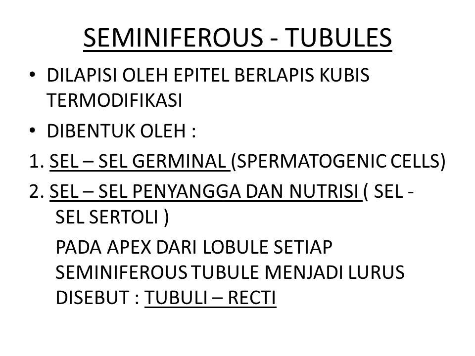 SEMINIFEROUS - TUBULES