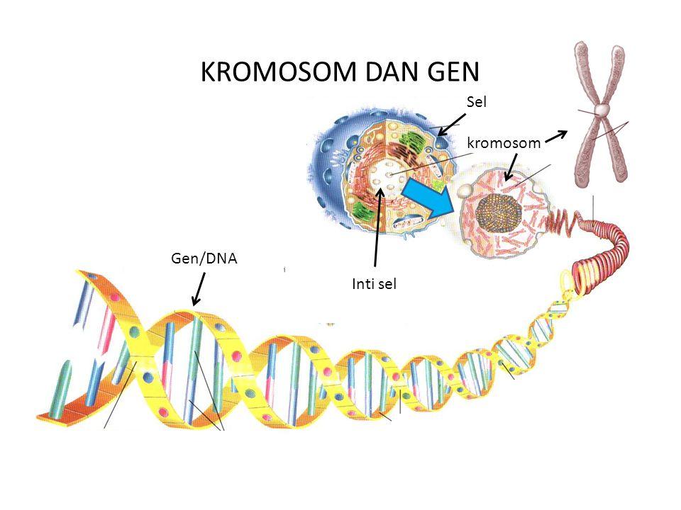 KROMOSOM DAN GEN Sel kromosom Gen/DNA Inti sel