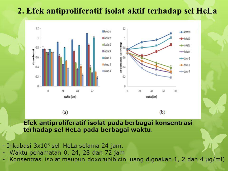 2. Efek antiproliferatif isolat aktif terhadap sel HeLa