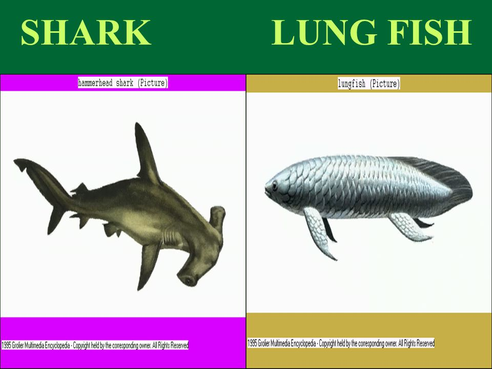 SHARK LUNG FISH