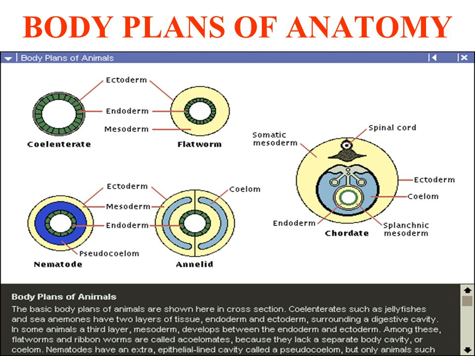 BODY PLANS OF ANATOMY