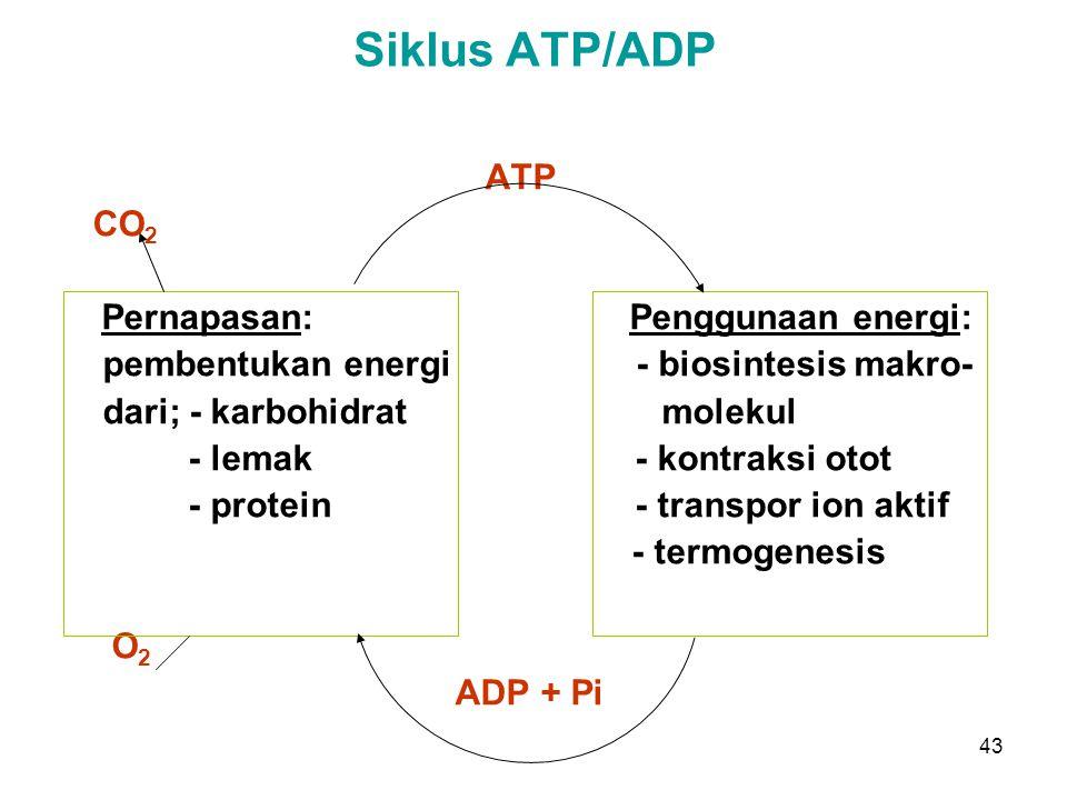 Siklus ATP/ADP ATP CO2 Pernapasan: Penggunaan energi: