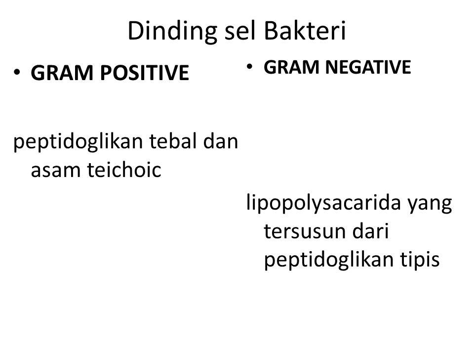 Dinding sel Bakteri GRAM POSITIVE