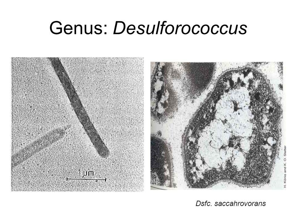 Genus: Desulforococcus