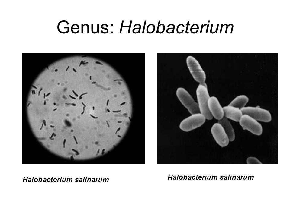 Genus: Halobacterium Halobacterium salinarum Halobacterium salinarum