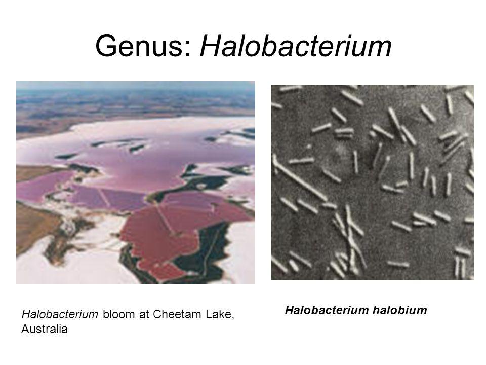 Genus: Halobacterium Halobacterium halobium