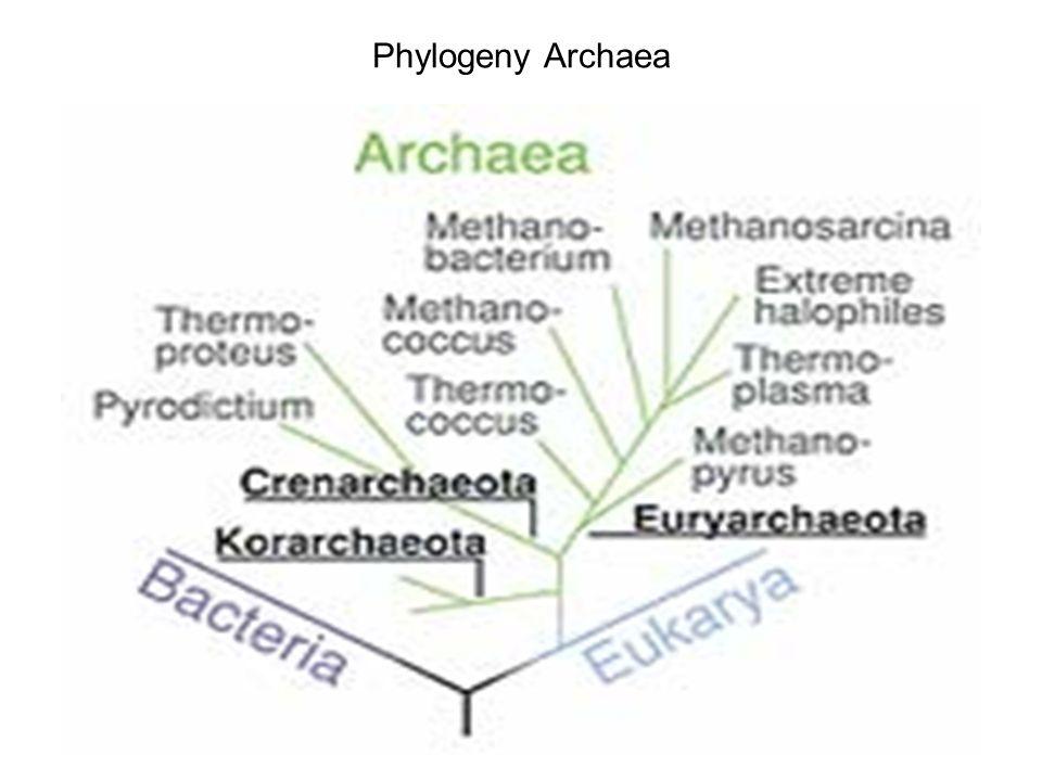 Phylogeny Archaea