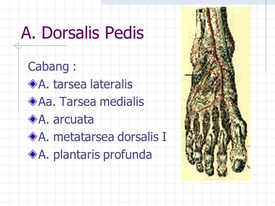 A. Dorsalis Pedis Cabang : A. tarsea lateralis Aa. Tarsea medialis