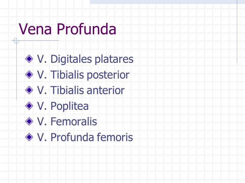 Vena Profunda V. Digitales platares V. Tibialis posterior