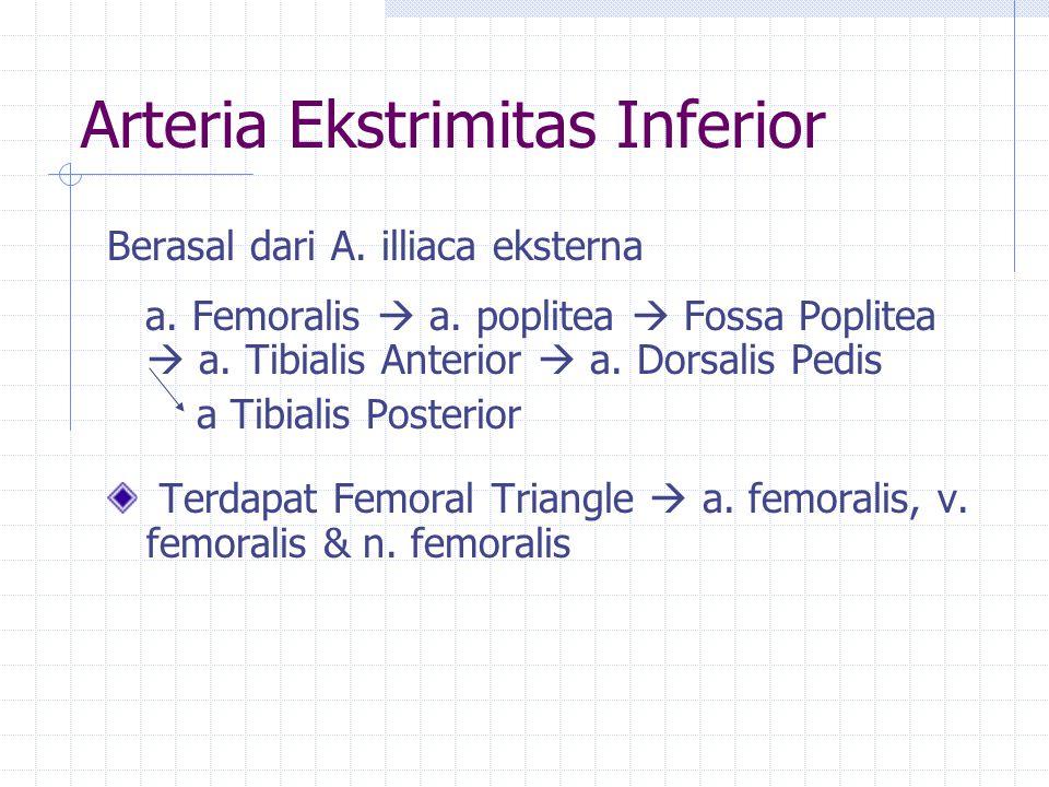 Arteria Ekstrimitas Inferior
