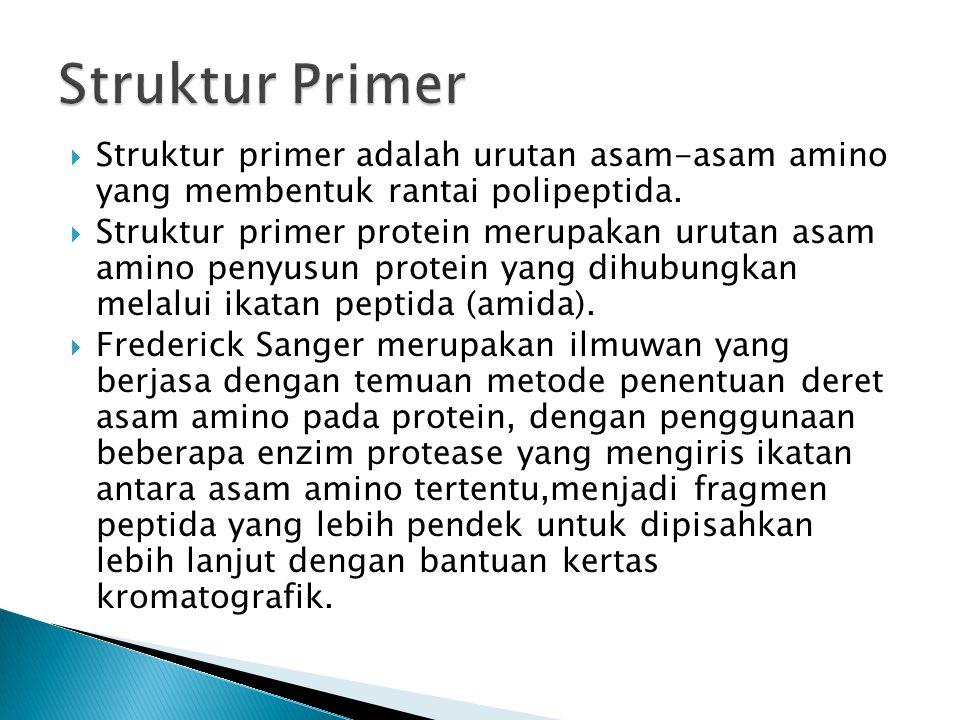 Struktur Primer Struktur primer adalah urutan asam-asam amino yang membentuk rantai polipeptida.