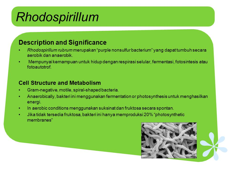 Rhodospirillum Description and Significance