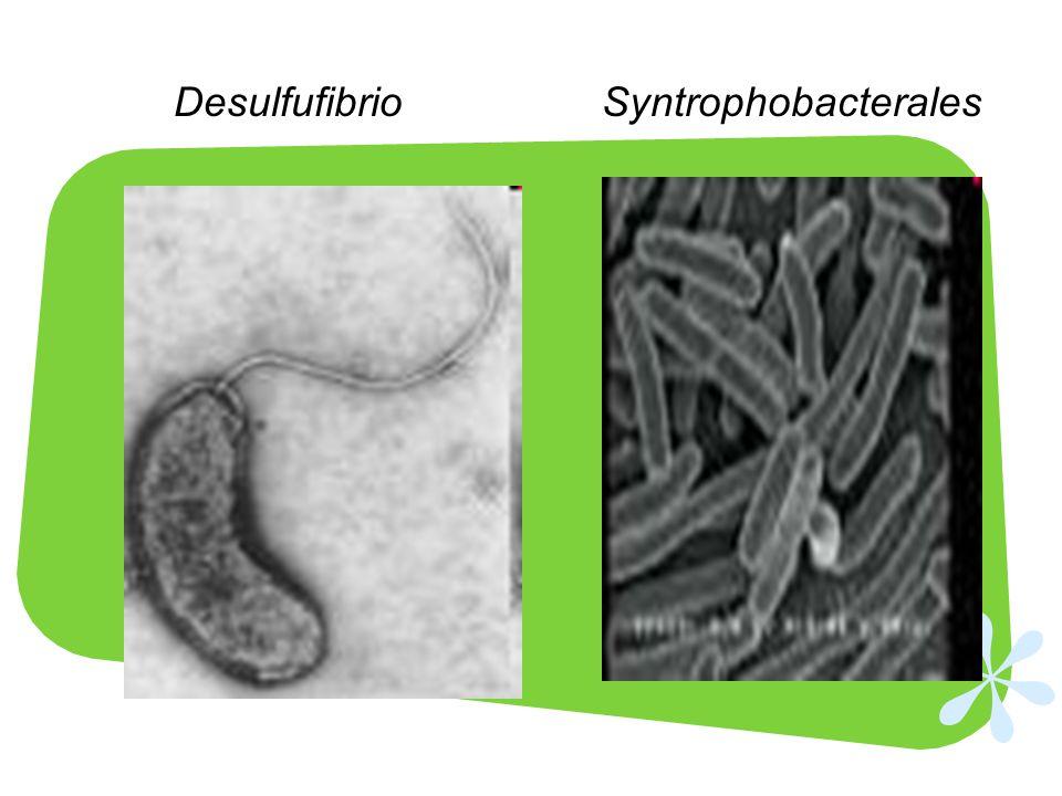 Desulfufibrio Syntrophobacterales