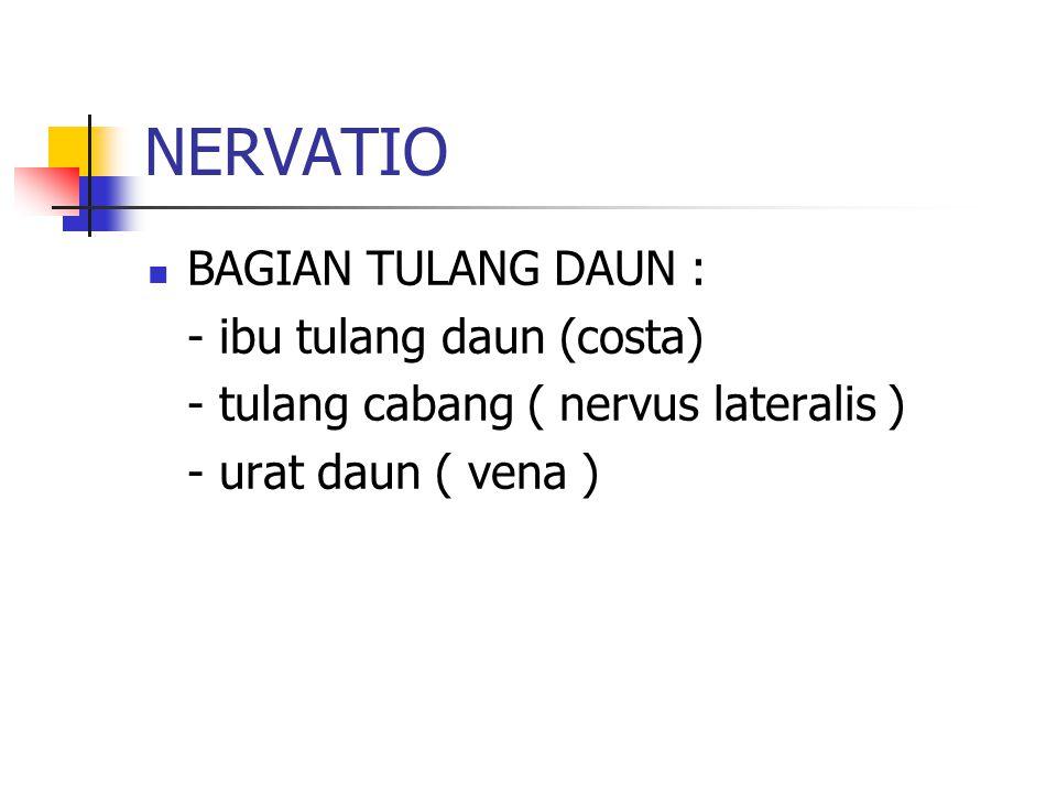 NERVATIO BAGIAN TULANG DAUN : - ibu tulang daun (costa)