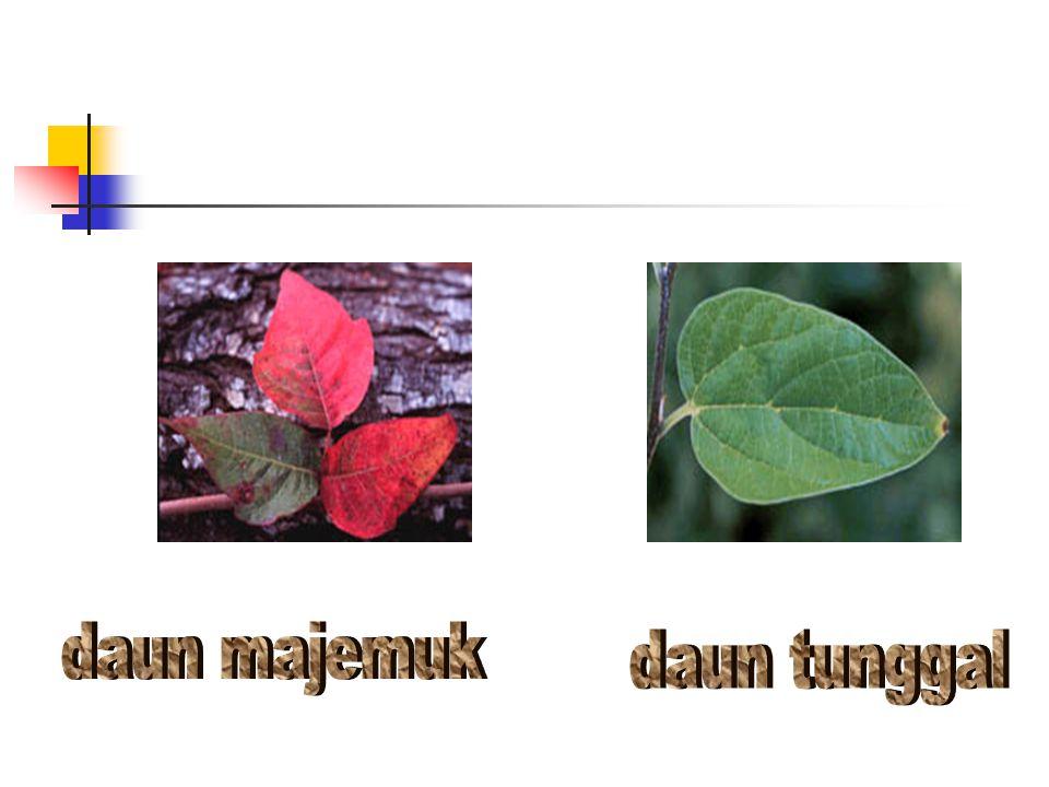 daun majemuk daun tunggal