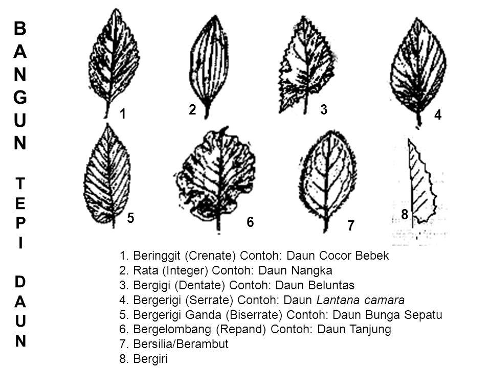 1 2. BANGUN. TEPI. DAUN. 3. 4. 5. 6. 7. 8. 1. Beringgit (Crenate) Contoh: Daun Cocor Bebek.