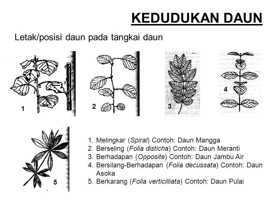KEDUDUKAN DAUN Letak/posisi daun pada tangkai daun 4 1 2 3 5