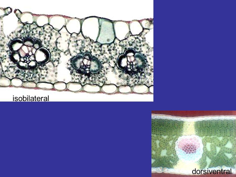isobilateral dorsiventral
