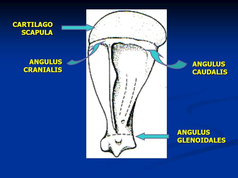 CARTILAGO SCAPULA ANGULUS CRANIALIS ANGULUS CAUDALIS ANGULUS GLENOIDALES