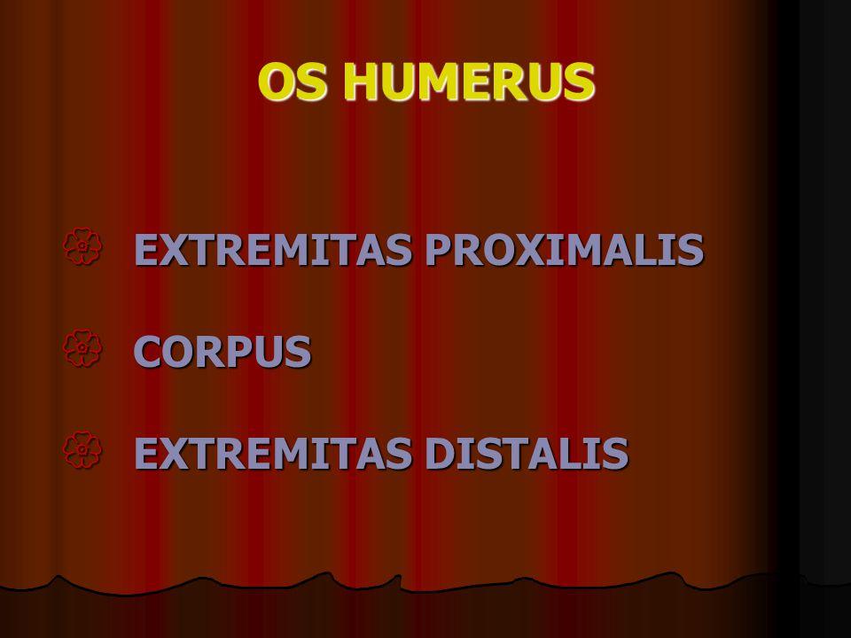 OS HUMERUS EXTREMITAS PROXIMALIS CORPUS EXTREMITAS DISTALIS