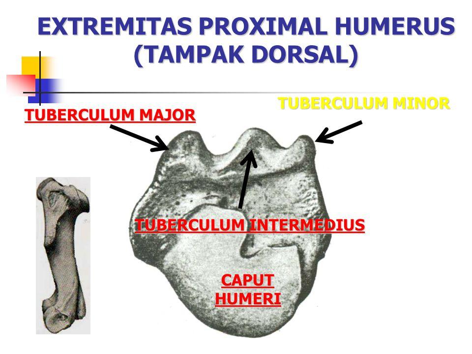 EXTREMITAS PROXIMAL HUMERUS (TAMPAK DORSAL)