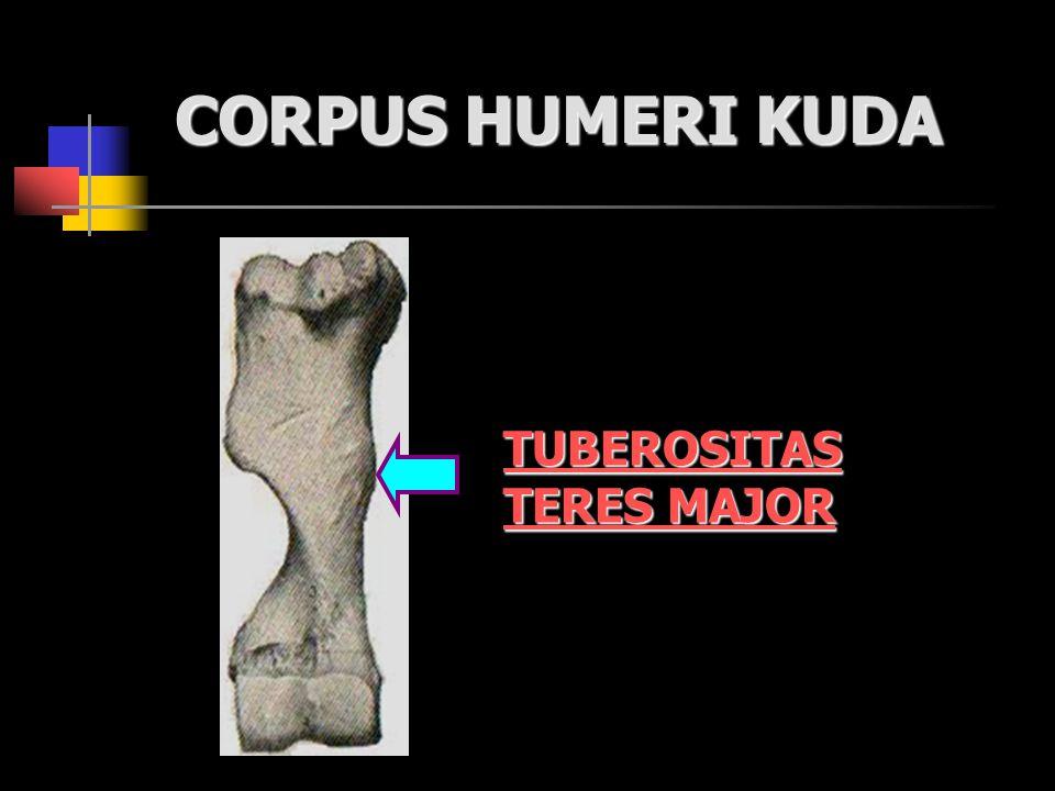 CORPUS HUMERI KUDA TUBEROSITAS TERES MAJOR
