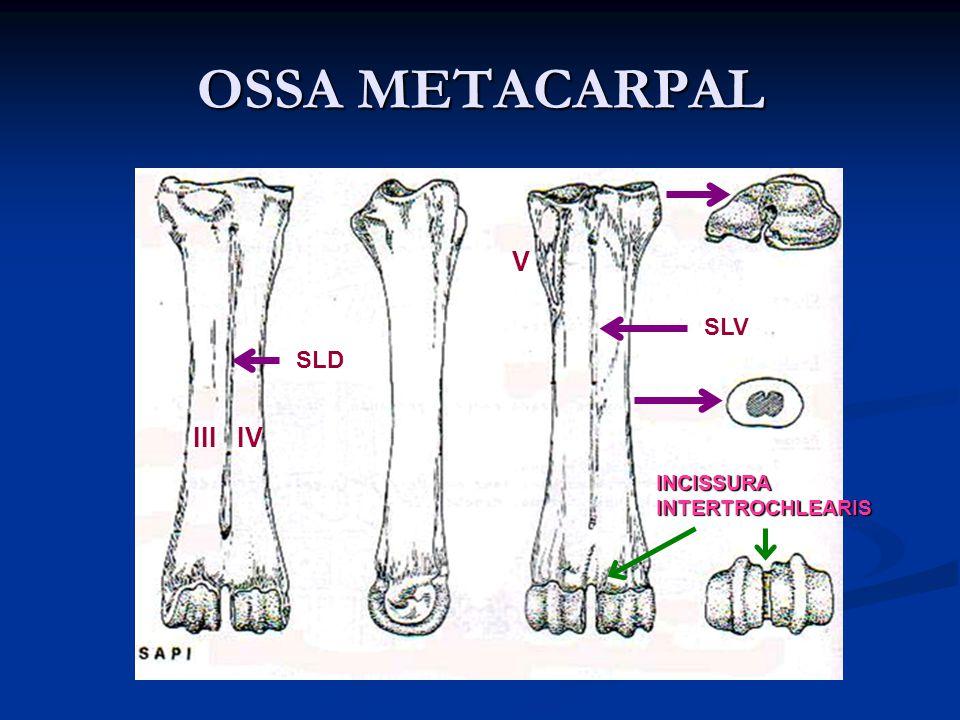 OSSA METACARPAL V SLV SLD III IV INCISSURA INTERTROCHLEARIS