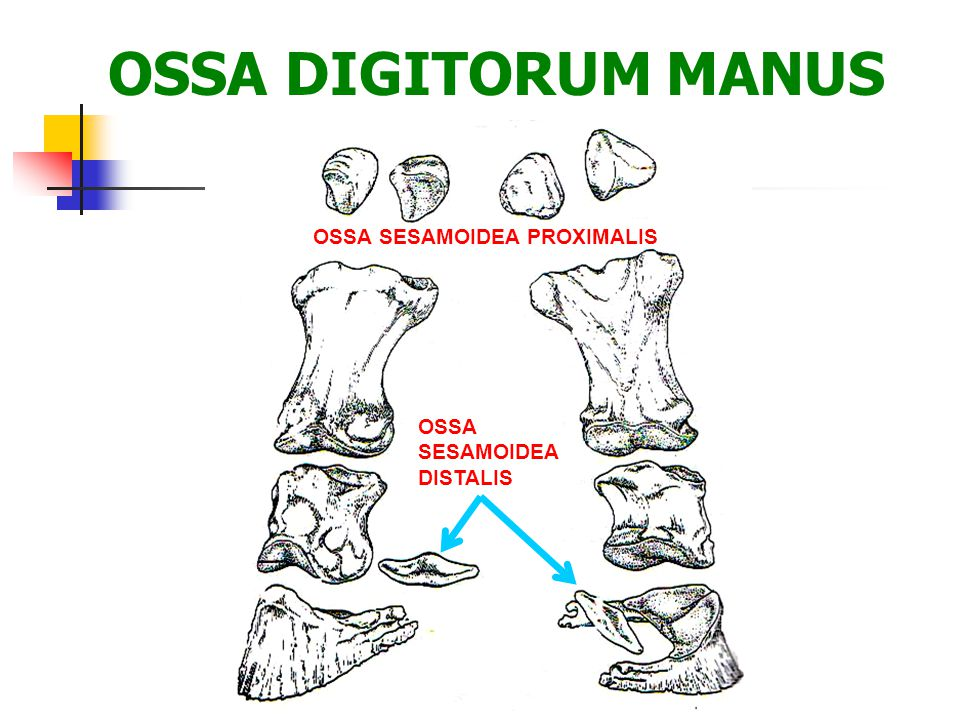 OSSA DIGITORUM MANUS OSSA SESAMOIDEA PROXIMALIS