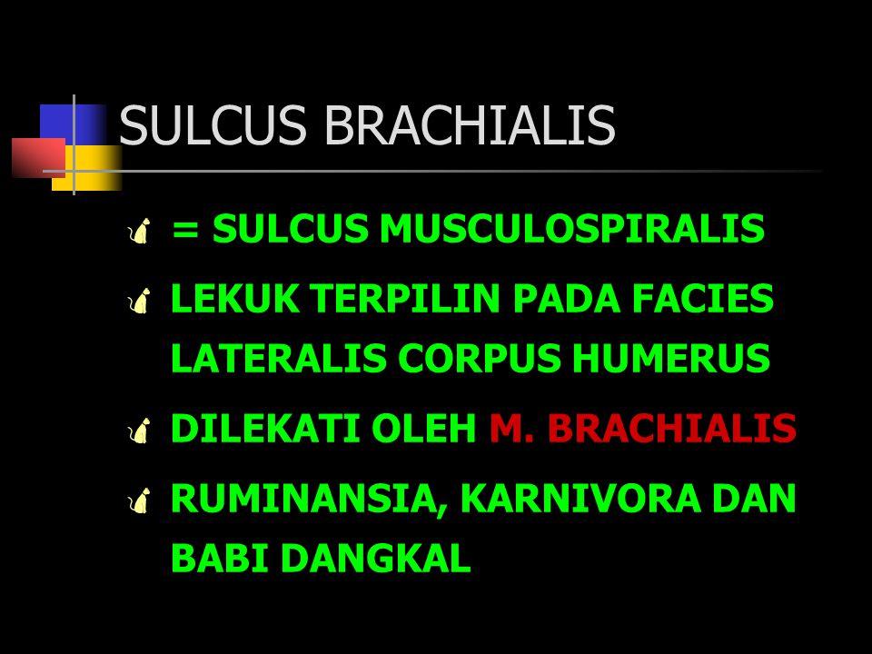SULCUS BRACHIALIS = SULCUS MUSCULOSPIRALIS