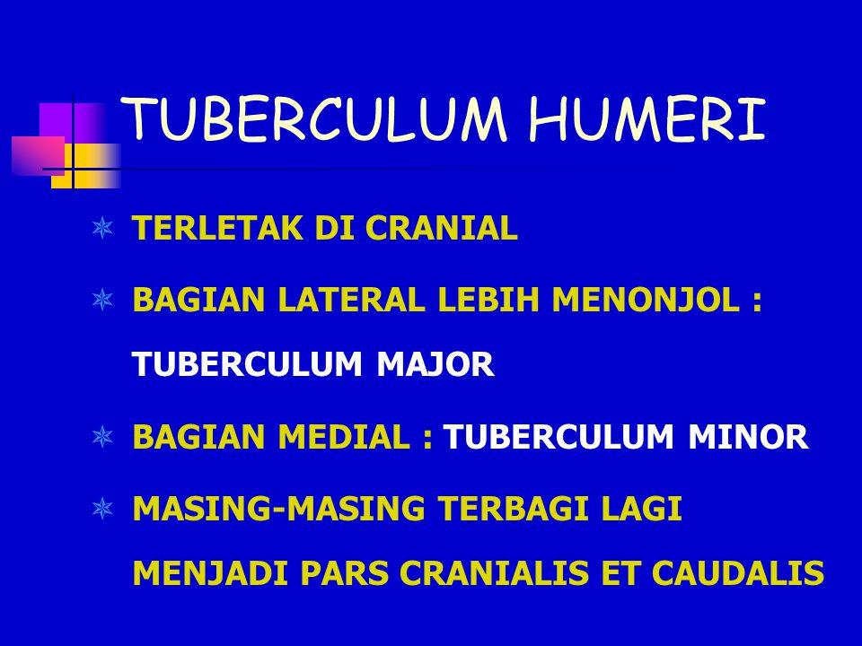 TUBERCULUM HUMERI TERLETAK DI CRANIAL