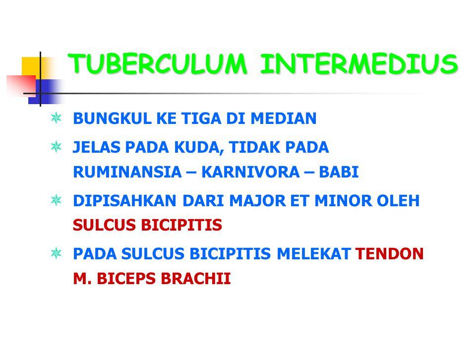 TUBERCULUM INTERMEDIUS