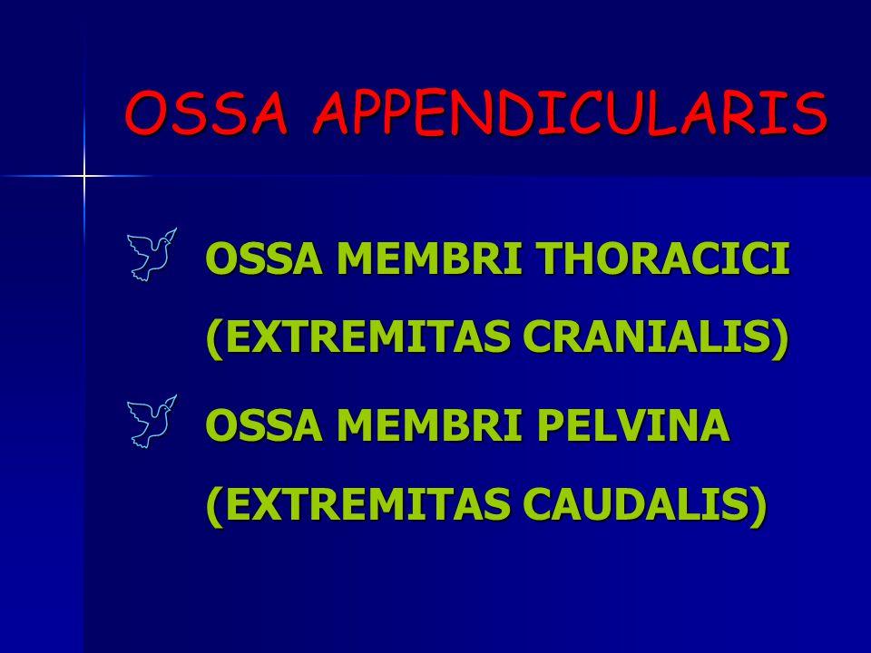OSSA APPENDICULARIS OSSA MEMBRI THORACICI (EXTREMITAS CRANIALIS)