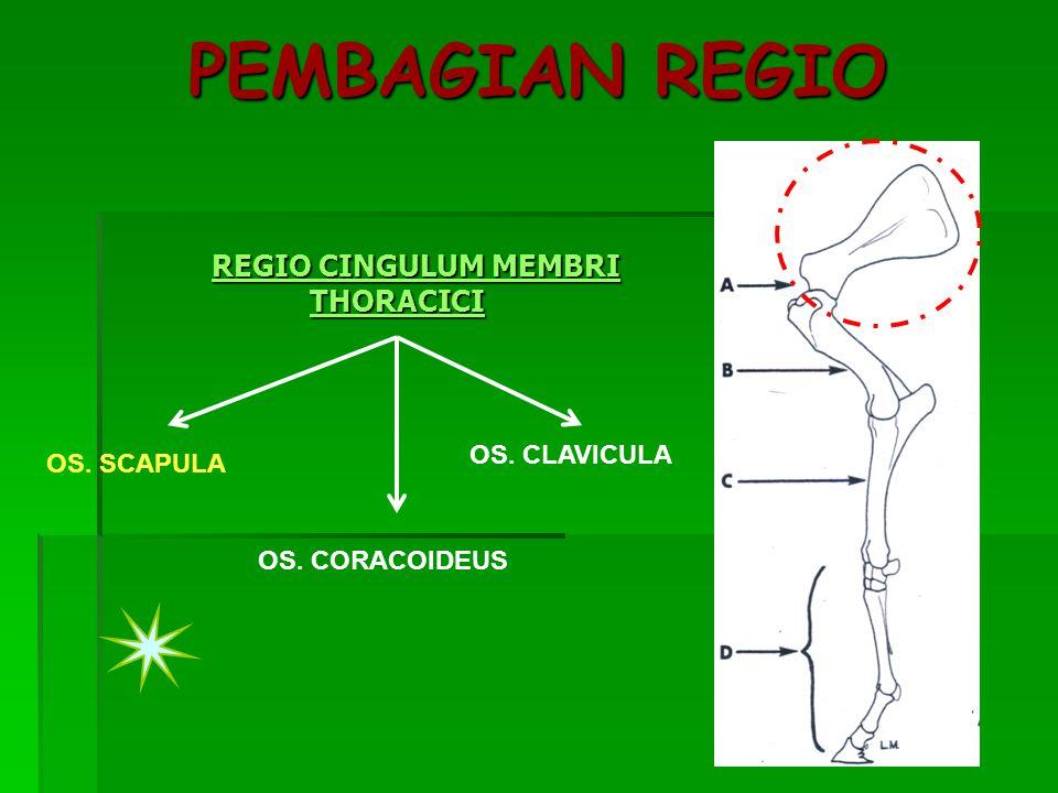 PEMBAGIAN REGIO REGIO CINGULUM MEMBRI THORACICI OS. CLAVICULA
