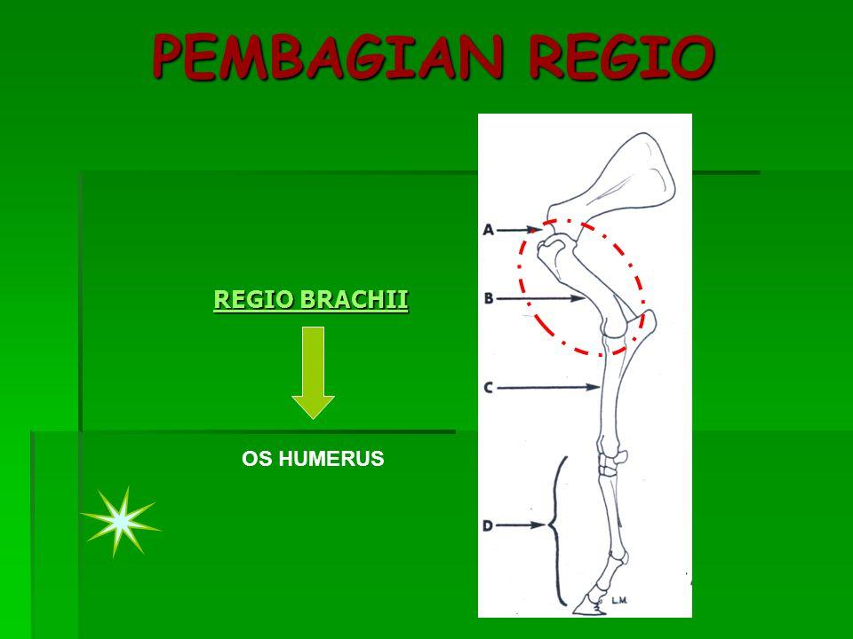 PEMBAGIAN REGIO REGIO BRACHII OS HUMERUS